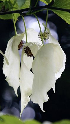 Many names for this tree. Davidia Involucrata Dove tree, Handkerchief tree, Pocket Handkerchief tree or Ghost tree.