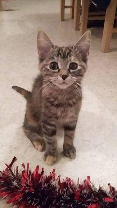 Adoption Petit chat Junior - Saint-Quentin Félins  - Aisne - Chat domestique poil court - SecondeChance.org