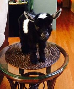 A really adorable Pygmy Goat!