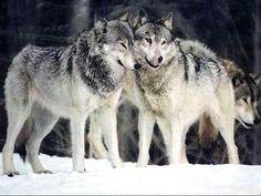 Loups gris <3 <3 *****