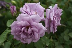 Ocean in Motion | Ludwigs Roses : Plant a hedge of this fabulous rose to get the feel of an ocean in motion – lots of lavender blue blooms on densely produced, willowy canes moving in the wind.