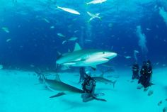 Within minutes of landing in Nassau on New Providence, you can be boarding a dive boat bound for underwater scenes on par — critter-wise — with some of the world's best. The most action-packed animal encounter here is the afternoon shark-feeding dive with Stuart Cove's Dive Bahamas.