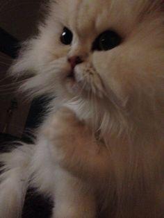 Lola chinchilla Persian