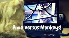 Pixie Watching Screens | Cat's reactions to TV, mobile, laptop screens.   Watch Pixie, our mischievous cat, enjoying entertainment on screens and watching himself on the screen, face to face with monkeys!