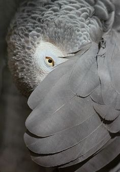 African Grey Parrot, peeking out from under its wing -