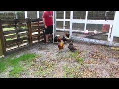 Chickens grazing on their DIY grazing boxes