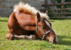 Tierischer Irrtum: Pferde schlafen immer im Stehen   Kuriose Tierwelt