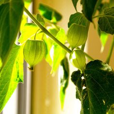 goudbes annanaskers incabes physalis peruviana plant