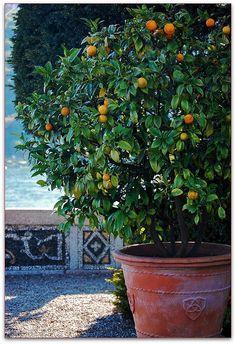 Orange tree on Isola Bella -...