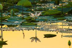 Lotus Blossom Reflection, Sukhna Lake, India