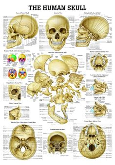 Drawing Anatomy Reference The Human Skull Laminated Anatomy Chart - Anatomy Study, Anatomy Art, Anatomy Reference, Anatomy Drawing, Nerve Anatomy, Hand Reference, Gesture Drawing, Pose Reference, Drawing Reference