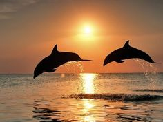 dolphin dolphins ocean sea fish blue water sunset Size: x Gender: unisex. Tier Wallpaper, Animal Wallpaper, Wildlife Wallpaper, Plan Image, Whale Nursery, Delphine, Sea Fish, Tropical Paradise, Dolphins
