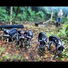Our first group of Mangalitza's arrive and explore their new woodland home.