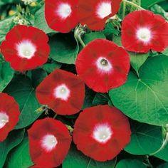 Morning-Glory-Crimson-Rambler.jpg