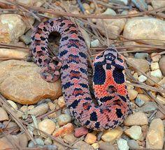 Hognose Snake (baby) by Jan and Billy Pics, via Flickr
