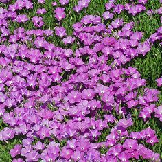 NEW! EXCLUSIVE! Phlox nana Perfect Pink (Santa Fe Phlox) Selected original plant from the wild for its huge (1 ½ diameter) flowers w/wide, deep pink petals that surround a small white eye. Grows as tidy mound of stems with narrow, blue-green deciduous foliage. Blooming in late spring, re-flowers in late summer in rains. Very long lived, gently suckers to make large cushions of glowing pink flowers. 5-8 x 12-15 wide. Zones 4-8