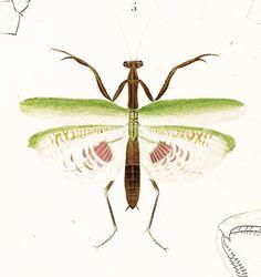 1861 Mante Forficule Blatte gravure ancienne Ch. d' Orbigny Original Qualité Exceptionnelle Hist. Naturelle Lithographie entomologie