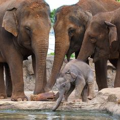 elephants / they are such emotional animals and no predator would risk attacking this baby elephant ,as bull elephants and mother elephants are as powerful as bulldozers, so this baby has the ultimate bodyguards ✅ Group Of Elephants, All About Elephants, Elephants Never Forget, Baby Elephants, Elephant Love, Giraffe, Elephant Family, Happy Elephant, Beautiful Creatures