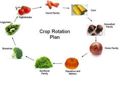 """crop rotation:  planning the garden so last years """"heavy feeders"""" get rotated."""
