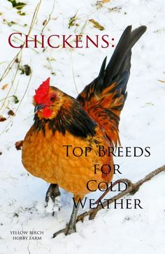 Chickens: Top Breeds for Cold Weather