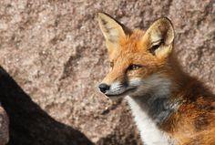 Red Fox by Bjarne Nørby on Fox Art, Red Fox, Foxes, Cats, Animals, Amigurumi, Gatos, Animales, Animaux