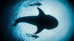 SIGN THE PLEDGE to ban the trade of shark fins in Texas, Rhode Island, Vermont and New Jersey: http://sharks-racingextinction.nationbuilder.com    For updates on the film and ways to take action in the race against extinction, go to racingextinction.com    facebook.com/racingextinction  twitter.com/RacingXtinction  instagram.com/racingextinction    About the Film:  Utilizing state-of-the-art equipment, Oscar®-winner Louie Psihoyos (The Cove) assembles a team of artists and activists intent…