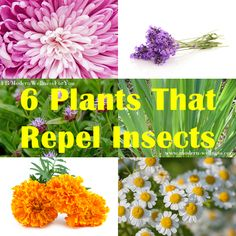 6 Plants That Repel Insects   http://www.modern-wellness.com/6-plants-that-repel-insects/