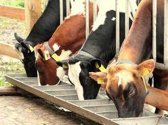 Zwarte Miep, rode Miep, Sita en Wally aan het zondagochtend ontbijt. Cow, Animals, Animales, Animaux, Cattle, Animal, Animais