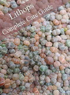 Species Spotlight - Lithops ~ Living Stones Lithops living stones are such charming little succulents - and so easy to kill if you don't know their specific needs. Learn all about lithops care and their peculiar life cycle, so you can make these flowering Succulents Wallpaper, Succulents Drawing, Types Of Succulents, Growing Succulents, Succulents In Containers, Planting Succulents, Container Plants, Indoor Succulents, Container Flowers