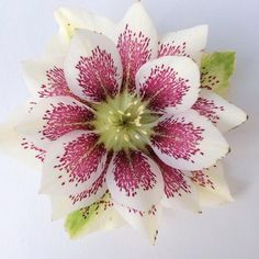 painted double hellebore by alicia schwede via www.pithandvigor.com