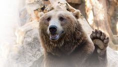 Bears across the world ... - creation.com
