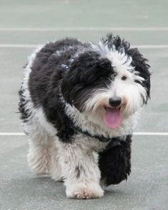Sheepadoodle Bear enjoys a good play date at the park.