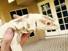 Omg an albino savannah monitor! Big Lizard, Lizard Dragon, Cute Reptiles, Reptiles And Amphibians, Rare Animals, Animals And Pets, Savannah Monitor, Large Lizards, Tortoise Care
