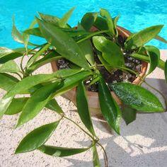 Hoya litoralis $$$ IML 0930 Hoya litoralis - $10.00 : Hoya Plants and Cuttings