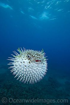 This is a Puffer fish. When it becomes frightened it takes in water and becomes a spiny object as a way of protection.