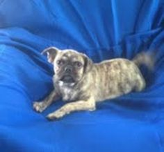 Emerald is an adoptable French Bulldog Dog in Denver, PA. Emerald is a 5 month old French bulldog/ pug mix, he is Olivers brother. he is sweet little boy who loves to play, he is up to date on all of ...