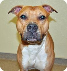 Port Washington, NY - Pit Bull Terrier Mix. Meet Jayda a Dog for Adoption.