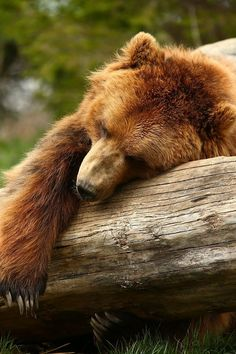 Sleepy Grissly Bear by JRD PHOTOGRAPHY on 500px
