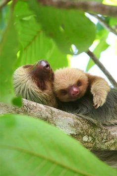 Momma sloth and baby