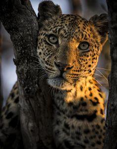 leopard portrait | animal + wildlife photography