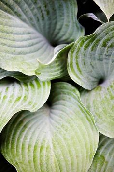 I love the thick leathery leaves and deep veins of this Hosta.