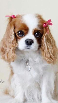 More About Fun Cavalier King Charles Spaniel Grooming Cavalier King Charles Spaniel, King Charles Puppy, Spaniel Puppies, Cute Dogs And Puppies, Doggies, Tier Fotos, Cute Baby Animals, Animals Beautiful, Dog Tags