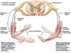 Reflex Arc - When something stimulates, or irritates, one side of the body there is often a response on the opposite side of the body. It may be particularly noticed  during recovery from a stroke or other brain injury.