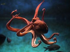 Octopus Animal Symbolism: Octopus Meaning on Whats-Your-Sign Octopus Vulgaris, Octopus Pictures, Ocean Pictures, Octopus Photography, Animal Photography, Underwater Creatures, Ocean Creatures, Underwater Life, Pisces