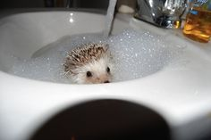hedgehog taking a bubble bath