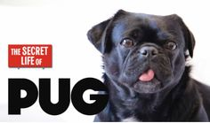 Have you Ever Wondered About the Secret Life of Pets? Check out our video The Secret Life of Pug featuring Kilo and our review of the funny adorable film.