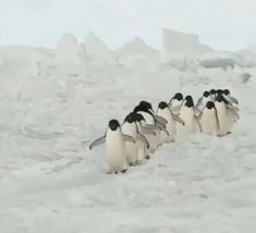 Cute March of the Penguins Gif! : Cute March of the Penguins Gif! March Of The Penguins, Baby Penguins, Penguin Baby, Penguin Craft, Cute Funny Animals, Cute Baby Animals, Cute Dogs, Nature Animals, Animals And Pets