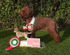 Championed Lagotto Romagnolo.