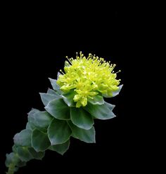 Golden Root (Rhodiola rosea, Roseroot, Aaron's Rod) - Extracts provide a healing, soothing benefit to skin and promotes natural radiance. Found in our Vetiver & Cardamom Collection http://www.caswellmassey.com/vetiver_and_cardamom-fragrance.aspx?utm_source=pinterest_medium=pin_content=botanical-living_campaign=vetiver-&-cardamom-collection
