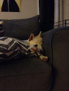 """Exhausted"" Shiba"